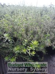 best australian native hedge plants westringia zena 200mm pot native rosemary 200mm budget wholesale