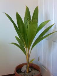 indoor palm into winter update coconut palm