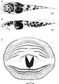diversity of the strongly rheophilous tadpoles of malagasy tree