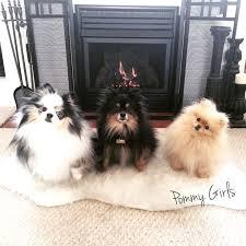 american eskimo dog vs pomeranian top 25 best pomeranian colors ideas on pinterest pomeranian