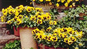 Best Flowers For Small Pots Pansies U0026 Viola Gardens Southern Living