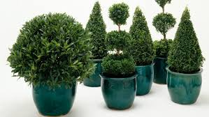 mini christmas tree plant home design ideas