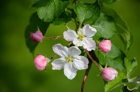 opened the apple tree flowers 51999 flower wallpapers flowers