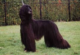 afghan hound puppies youtube 11 beautiful black afghan hound pictures and images