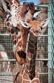 asian giraffe ring holder images Best 25 west african giraffe ideas giraffes baby jpg