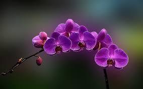 flower orchid orchid flowers wallpaper hd desktop background