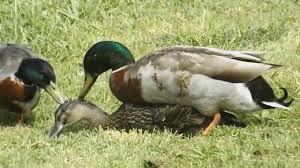 mallard ducks mating duck mating youtube