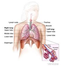 3d Human Anatomy Human Anatomy Heart And Lungs Anatomy Diagram Human Anatomy Chart