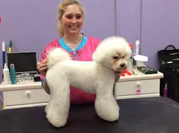 bichon frise breed standard cammie the bichon frise in the asian fusion hair style side