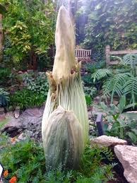 the corpse flower is blooming iowa public radio
