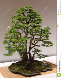 bonsai larch larix decidua miniature tree stock photo image