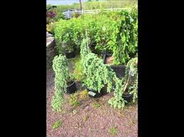 weeping ornamental evergreen trees