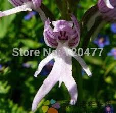 monkey orchid orchis italica also known as italian men orchid pyramid monkey