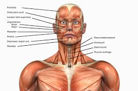 Human Anatomy Muscle Human Anatomy Muscles How Muscles Are Named U0026 Why