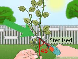 Vegetative Propagation By Roots - 3 ways to propagate roses wikihow