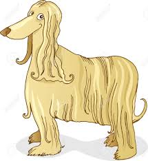 us afghan hound afghan hound dog royalty free cliparts vectors and stock