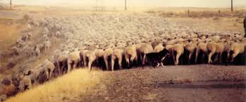 cut n loose australian shepherds australian shepherd herding sheep animals pinterest