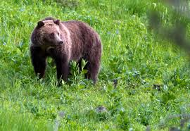 Wildfire Parks Canada by Parks Canada Canadian Pacific Move To Cut Grizzly Bear Train