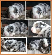 3 week old australian shepherd puppy blue eyed blue merle miniature australian shepherd rcf ghost eyes