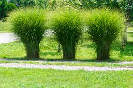 plant ornamental grasses for oomph and texture colorado country