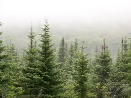 all sizes alpine trees flickr photo