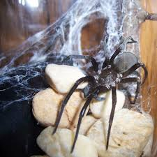 kukulcania hibernalis southern house spider pictures and spider