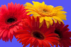 gerbera is a genus of ornamental plants from the sunflower family