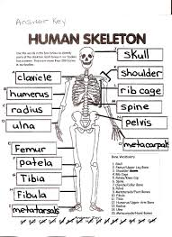the human skeleton worksheet answers u2013 hd m com