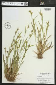 native plants of alabama carex flaccosperma species page apa alabama plant atlas