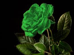 green roses green wallpapers hd pictures one hd wallpaper pictures
