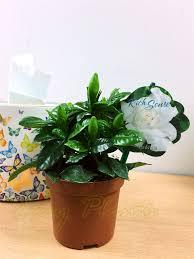 Gardenia Delivery 1 Scented Fragrance Gardenia Jasmine Evergreen Indoorn House Plant
