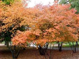 amelanchier ornamental trees for sale at trees direct