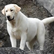 Comfort Retriever Puppies For Sale Labrador Retriever Puppies For Sale