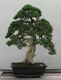 japanese miniature tree home