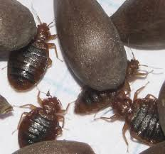Can Bed Bugs Live In Water How To Get Rid Of Bed Bugs The Signs That Say You Have Them And