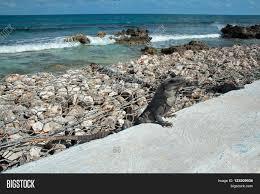iguana island lesser antillean iguana on seawall image u0026 photo bigstock