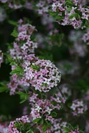 Shrub With Fragrant Purple Flowers - nine shrubs for colorado that even the knights of ni would love