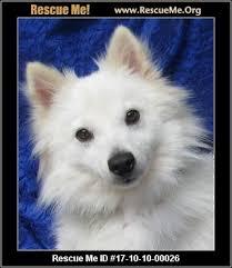 american eskimo dog new mexico new york dog rescue u2015 adoptions u2015 rescueme org