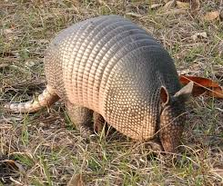 Alabama wildlife images Conserv armadillo removal conserv wildlife services alabama jpg
