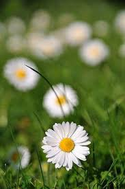 Daisy The Flower - small bunch of daisies waltz of the flowers pinterest