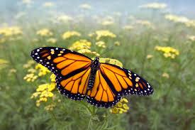 road salt creating beefier butterflies u2013 national geographic