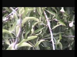 pyrus salicifolia pendula weeping pear wmv
