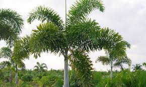 indian nursery foxtail palm exporter and supplier in hooghly india