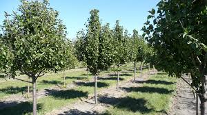 ornamental pear pear trees tree species
