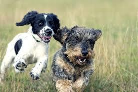 australian shepherd hound mix mutt dog breed information pictures characteristics u0026 facts