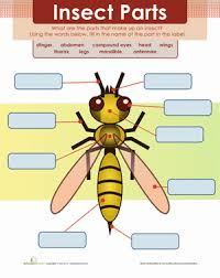 insect body parts worksheet education com