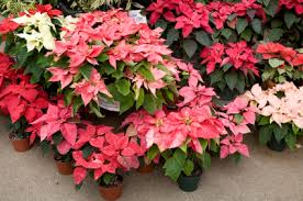 Christmas Flowers Grower Direct Traditional Christmas Flowers Information About