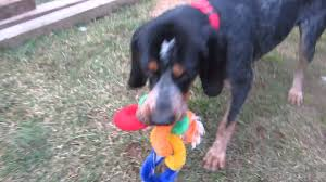 bluetick coonhound mix sale different breed coonhound bluetick pet dog playing with doll youtube