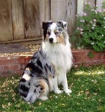 australian shepherd velcro dog australian shepherd smart working dog border collie mix