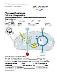Photosynthesis And Cellular Respiration Worksheet Photosynthesis And Cellular Respiration Worksheet Search